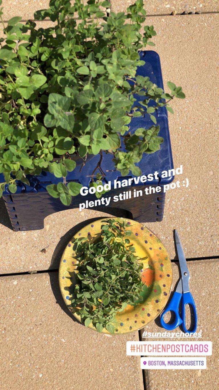 Summer herbs - oregano